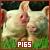 Pigs: